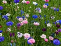 colorful cornflowers in the meadow - m .......................