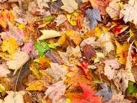 foglie d'acero marroni e rosse sul terreno - Ashland State Park, Ashland, Stati Uniti
