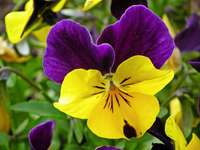 colorful pansy - m ........................