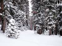 alberi coperti di neve - Foresta invernale del lago Tahoe. Lake Tahoe, Stati Uniti