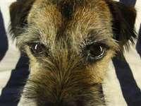 Trixie Border Terrier - Trixe Border Terrier di 7 anni.