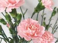 roze anjers - m .......................
