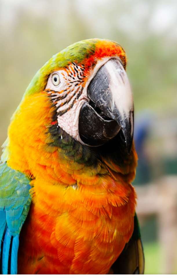 Ara parrot - It is a macaw parrot. One of the largest parrots (6×10)