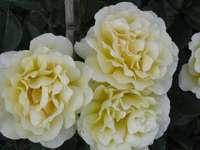 gul ros - doftande trädgård skönhet