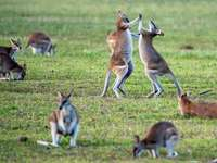 kangourous sur terrain en herbe - Ces deux wallabies sauvages se testent en fait mutuellement, comme un bras de fer, mais j'aime