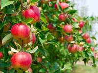 maçãs na árvore - m ........................