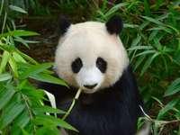 Panda 1234 - este é um panda chamado pandziula