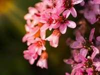 ondiepe focus fotografie van roze bloemen - Roze bloemcluster. Lecco, Italië