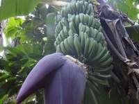 Banano - República Dominicana