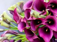 fialová kala - Kalia ve fialové barvě pro svatební kytici