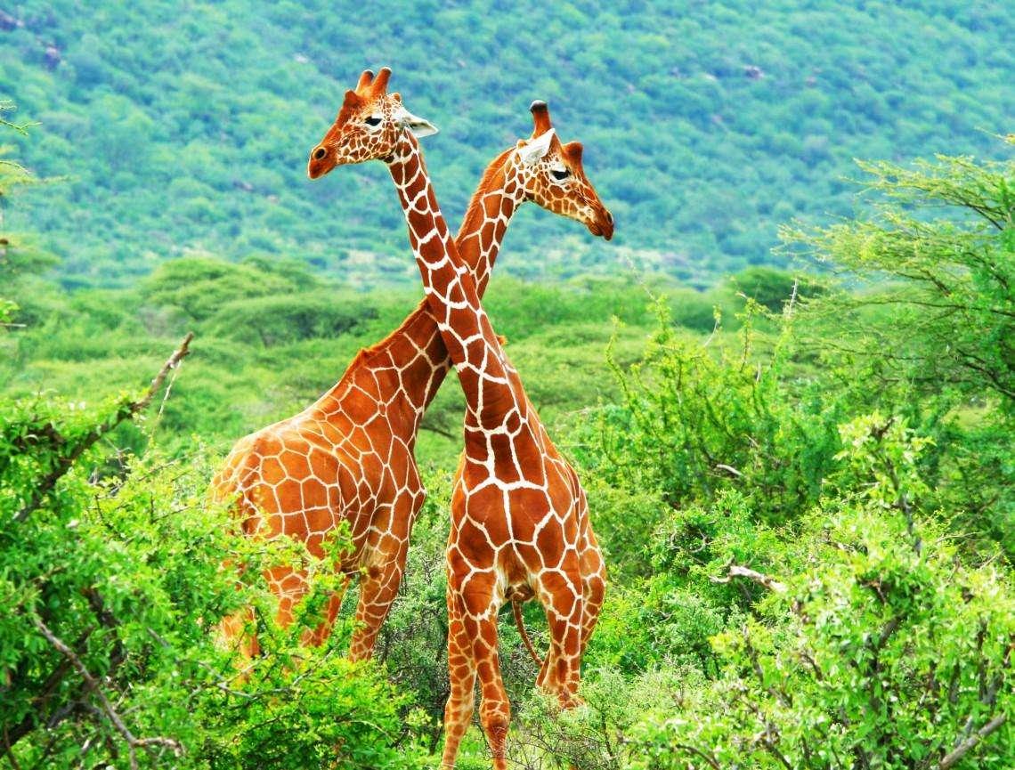 giraffe - twee heel mooie giraffen samen in de jungle (11×9)