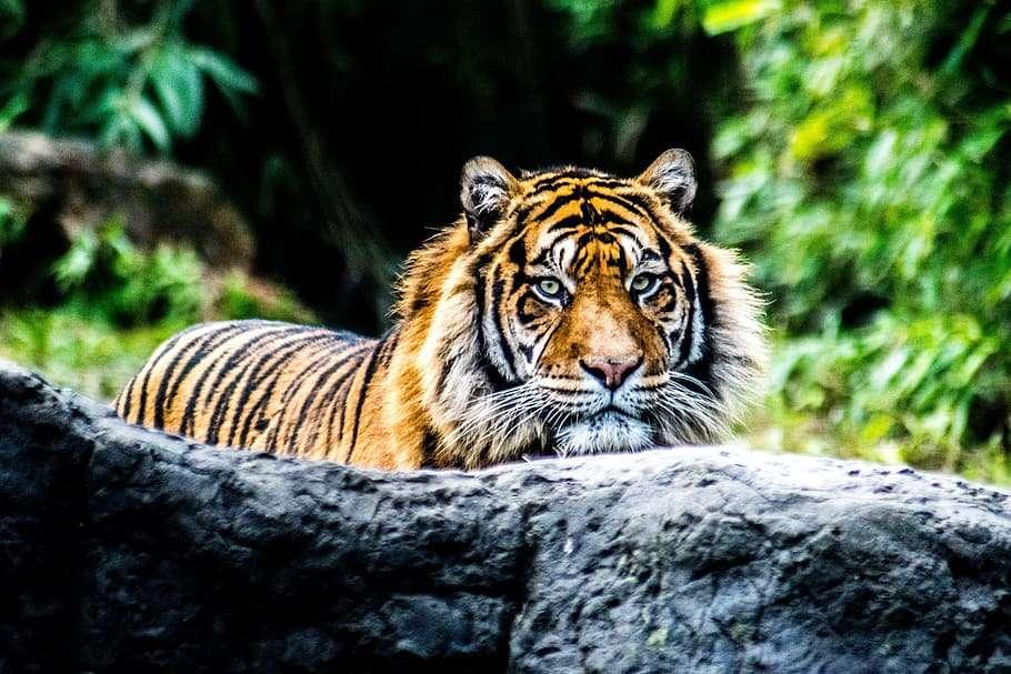 kleine tijger - tijger in zijn natuurlijke habitat (8×6)