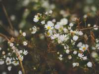 vita babyblåsande blommor blommar på dagtid - Vilda prästkragar. Dayton, USA