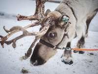 djurfotografering av en älg - Vacker ren i Lappland. Lappland, Finland