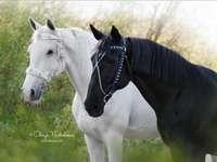 amis chevaux