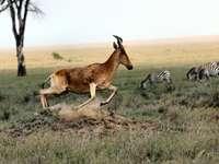 antílope marrón y cebra en el campo durante el día