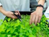 fekete toll és fehér textil tartó személy - A mérnök a fenntartható beltéri gazdaságból aratja a növényeket.