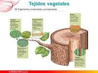 TESSUTO VEGETALE - Completa il puzzle sui tessuti vegetali