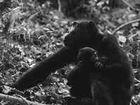 szürke majom fotó két majomról - Csimpánz anya és gyermeke. Mahale Mountain Nemzeti Park, Tanzánia