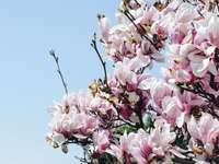 körsbärsträd - Äntligen våren !. Schuylkill River Trail, Philadelphia, USA
