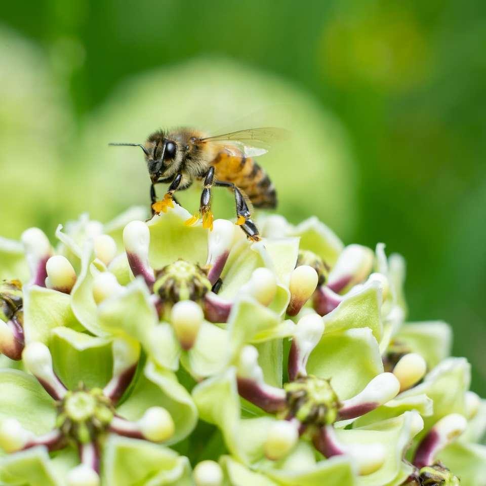 selektive fokusfotografie von honigbiene auf blume  löse