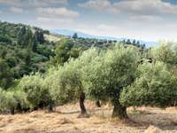 Verger d'oliviers - Belle oliveraie de la région italienne des Pouilles