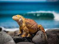 Iguane jaune sur les rochers pendant la journée - Se promener sur une île inhabitée - Un iguane se réchauffe au soleil. Provinz Galápagos, Équa