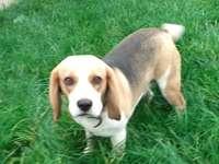 Mój szczeniak, Tasza - Mam szczeniaka rasy Beagle o imieniu Tasha