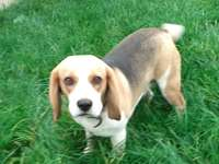 Mon chiot, Tasha - J'ai un chiot Beagle nommé Tasha