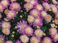 Fotografía de enfoque selectivo de campo de flores de pétalos rosas - Deslumbrantes flores rosadas desde arriba. 300 N Central Park Ave, Chicago, Estados Unidos