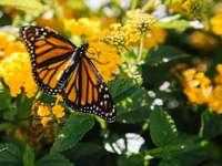 Fotografía macro de mariposas en flor amarilla - Pasé unos buenos veinte minutos bailando con estas mariposas, siguiéndolas a través de las flores