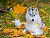 husky kutya az őszi levelek között - m.m .......................
