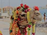 camello con adornos florales - Camello en Dwarka. Dwarka, India