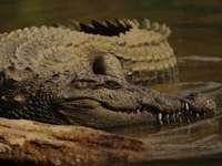 sekély fókuszú fotó a barna aligátorról - Mocsári krokodil. Mysore, Karnataka, India