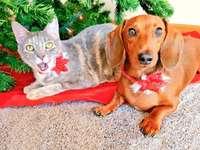 2 csinos karácsonyi ajándék! - Egy macska és egy tacskó, milyen szép ajándékok karácsonyra!