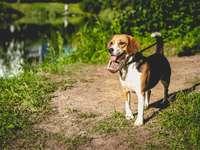 tricolor beagle a szennyezett talajon nappal - Moszkva, Россия