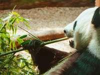 panda trzymająca zielony bambus podczas jedzenia