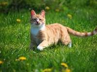chat dans le pré