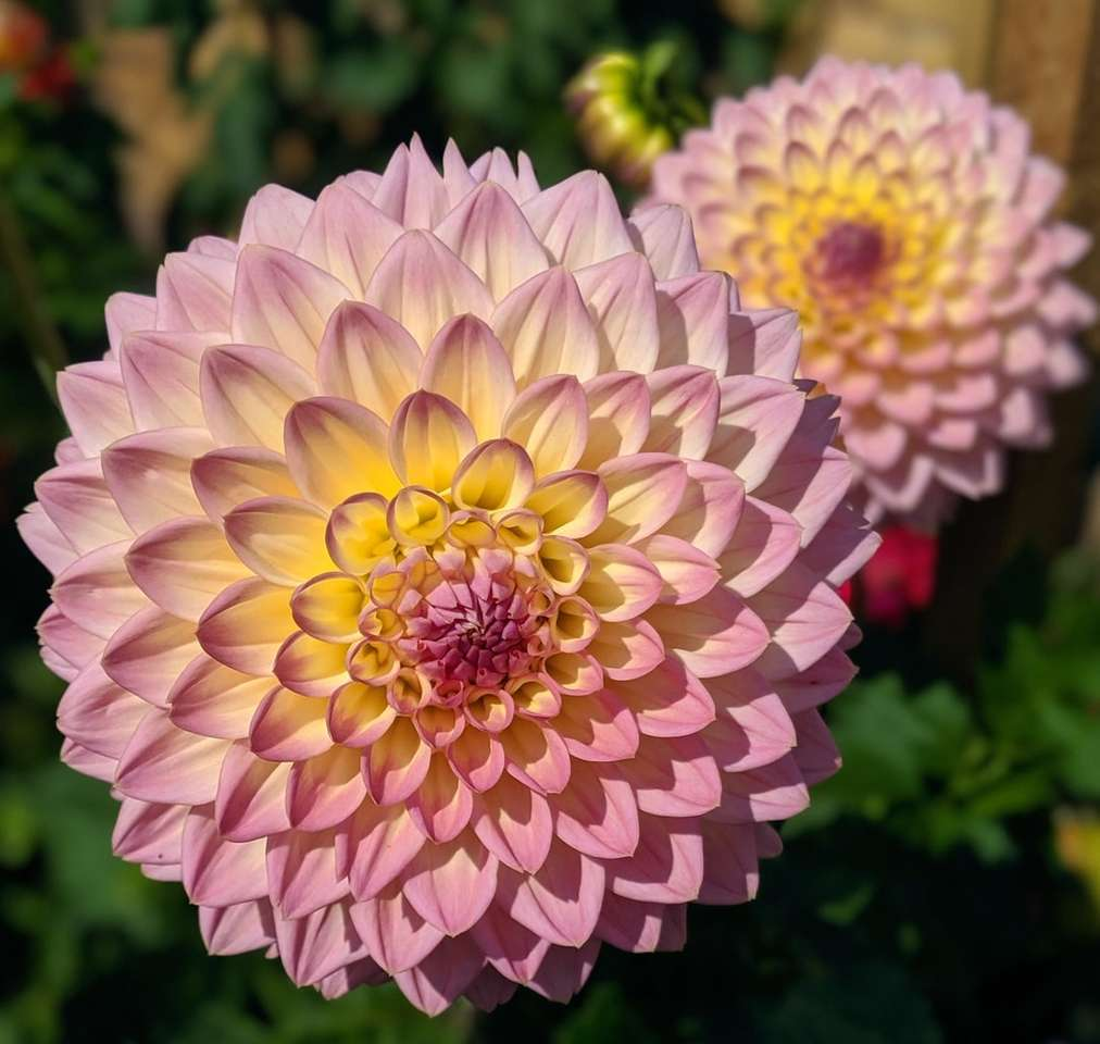 flores rosa e amarelas - Dália rosa e amarela. Jardim Botânico, Birmingham, Reino Unido (4×4)
