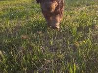 Jovem galês terrier