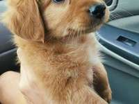 cachorrinho golden retriever