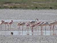 flamingók nyája a vízen nappal