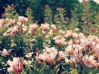 розови цветя, цъфтящи през деня