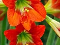 amarillisz virág