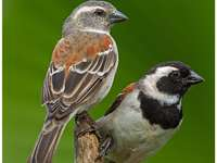 dvě malé ptáčky