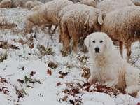 dorosły biały pies siedzi obok owiec zimą