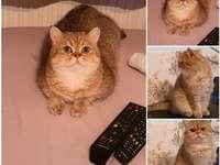 Γάτα Βερόνικα