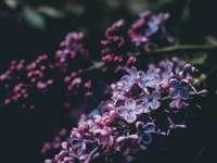 фотография с лилаво цвете