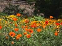 mező narancssárga pipacs virágok