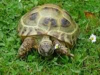 tartaruga de estepe